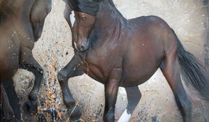 The Challenge – Alberta Wild Stallions